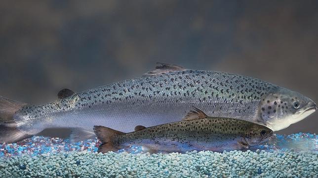 El salmón transgénico, a punto de recibir luz verde para su comercialización