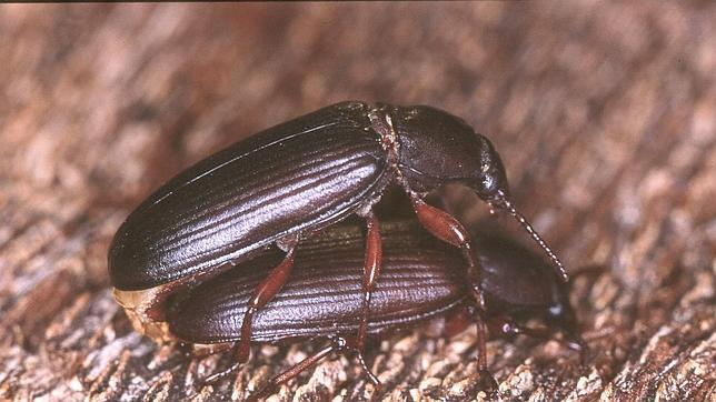 Los escarabajos también pueden contar