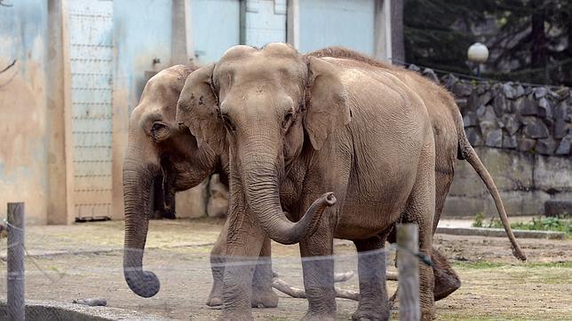Hollande suspende la eutanasia de dos elefantes de un circo de Lyon