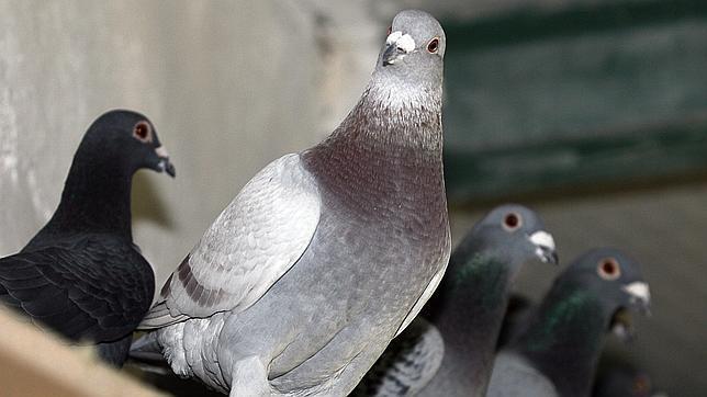 Resuelto el misterio del «triángulo de las Bermudas» de las palomas