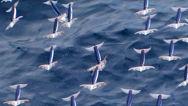 No es un pájaro, no es un avión, es un calamar volador