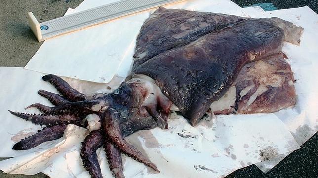El calamar gigante encontrado frente a la costa de Galicia el año pasado