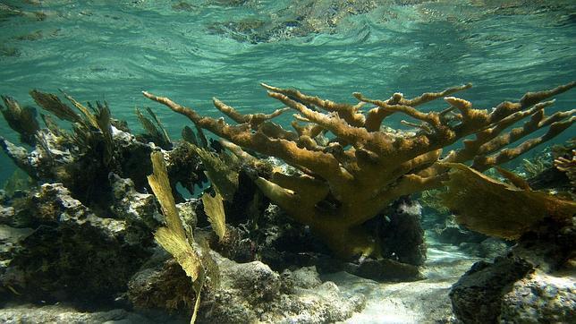 Los arrecifes de coral del Caribe han dejado de crecer
