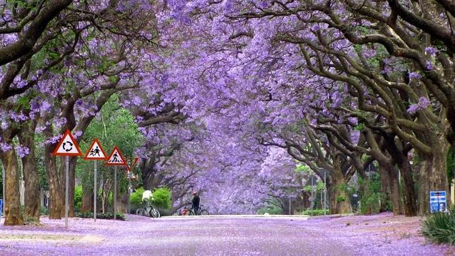 Fotografías Jacaranda-trees-in-bloom-south-africa--644x362