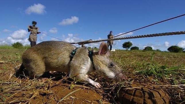 Utilizan ratas gigantes en Tanzania para detectar minas antipersona