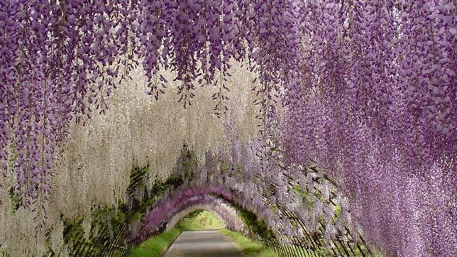 Fotografías Wisteria-tunel-japan--644x362