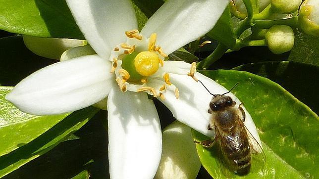 La cafeína da «supermemoria» a las abejas