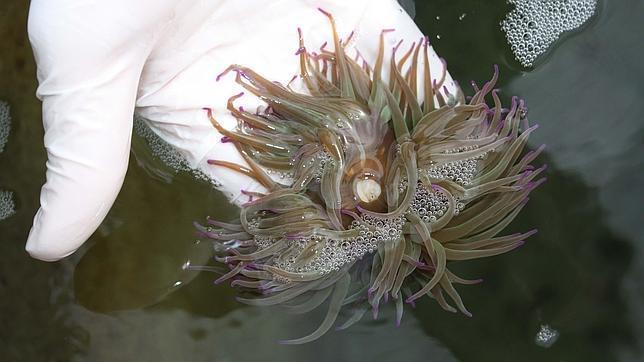 Logran cultivar por primera vez en cautividad la ortiguilla de mar
