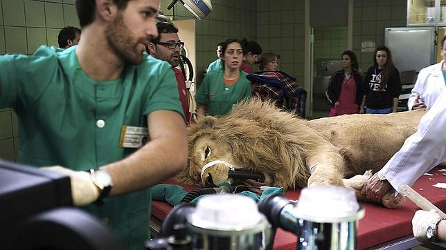 Operan con éxito a Boiki, un león de 218 kilos con una grave infección dental
