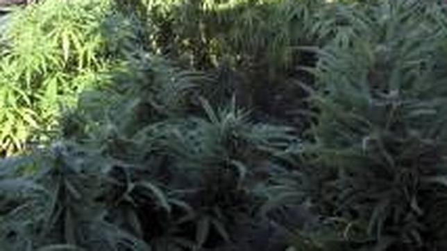 La polic a desmantela un vivero de 60 plantas de marihuana for Viveros en santiago
