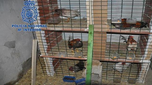Gallos medicados y con antifaz: la lacra de las peleas ilegales continúa