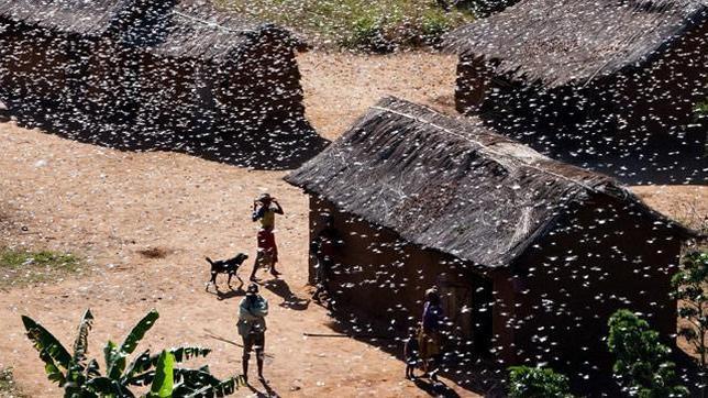 Madagascar llevará a cabo un plan de tres años para acabar con la plaga de langostas