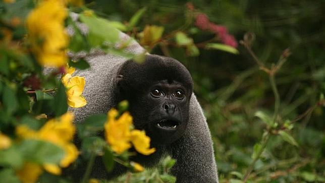Los monos lanudos distinguen a los cazadores de los investigadores