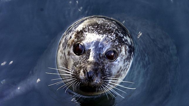 La prohibición no afecta a los esquimales, p.ej., cuya subsistencia depende de las focas
