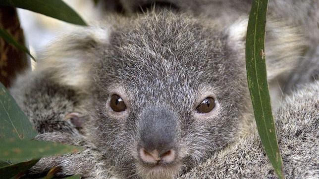 La clamidia precipita al koala hacia la lista de especies amenazadas de Australia
