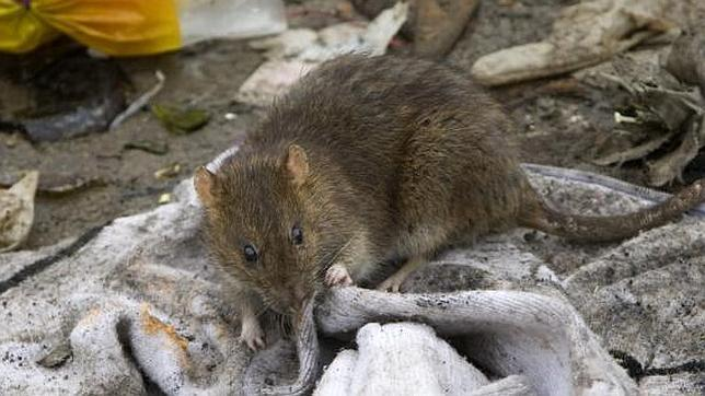 Desmantelada una red china que vendía carne de rata por cordero