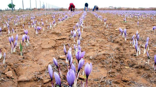 Se buscan agricultores que quieran cultivar azafrán