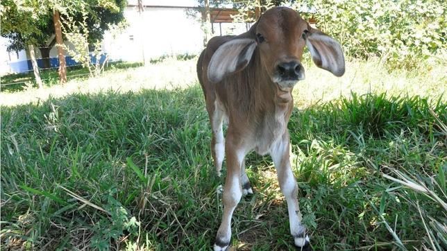 Desarrollan en Brasil el primer clon de un animal a partir de célula adiposa
