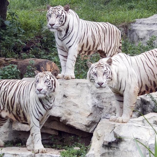Resuelto el misterio del tigre blanco