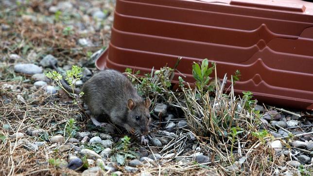 Cebos con olor a galleta de mantequilla para acabar con - Cebos para ratones ...