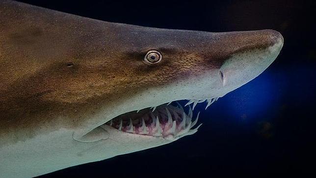 El caníbal intrauterino: el tiburón «asesino» antes de nacer