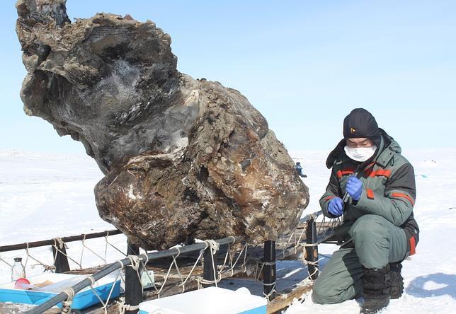 Hallan sangre líquida entre los restos de un mamut congelado en el Ártico