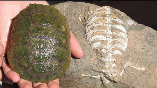 ¿Cómo desarrollaron su caparazón las tortugas?
