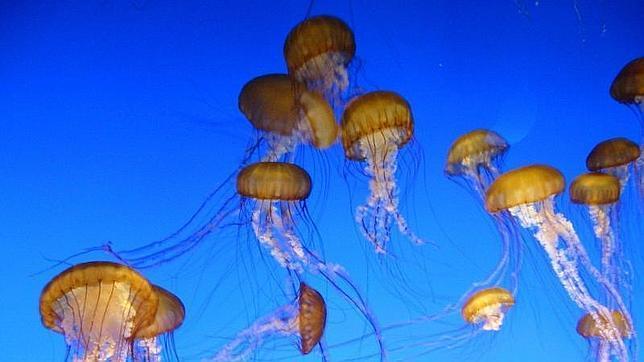 Las medusas del Mediterráneo son este año más grandes y abundantes