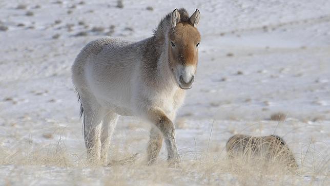 Descifrado el genoma de un caballo de casi un millón de años de antigüedad