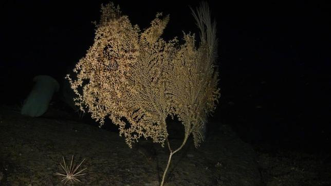 Piden más protección para la gorgonia más alta y el coral más longevo de los océanos