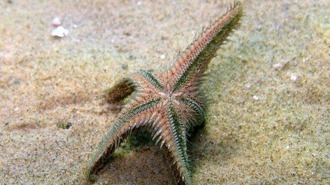Las estrellas de mar tienen ojos en la punta de sus brazos para ...