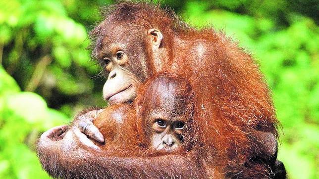 Los chimpancés y orangutanes son capaces de recordar