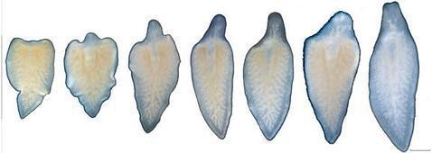 La planaria regenera su cabeza