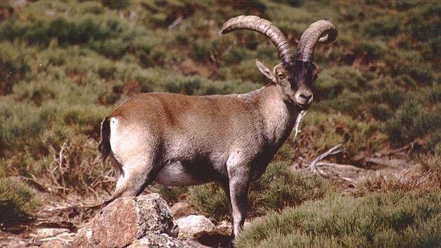 Denuncian la caza con arco de la cabra montés en el Parque Nacional de Guadarrama