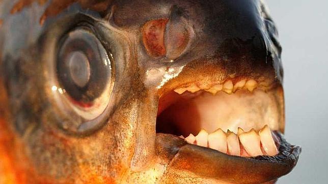 Encuentran en Suecia un ejemplar de pez «muerde-testículos»