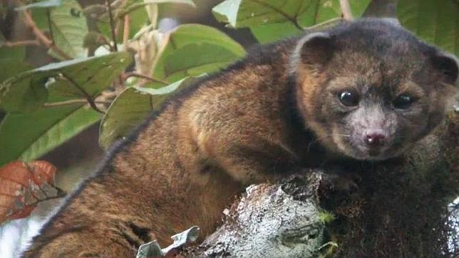 Olinguito, primer descubrimiento de especie carnívora en las Américas en 35 años