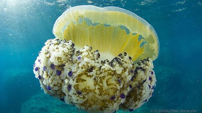 Descubre las particularidades de las medusas - Como se alimentan las medusas ...
