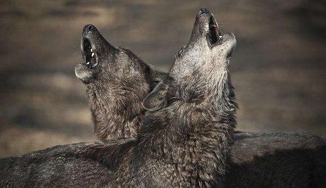 Por Qué Aúllan Los Lobos Una Prueba De Amistad