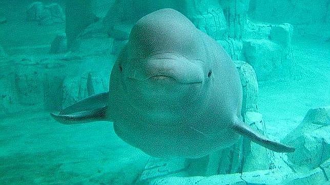 Una ballena blanca
