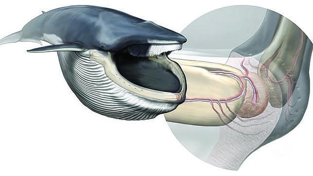 Este órgano desconocido hasta hace poco permite a las ballenas su peculiar forma de alimentación