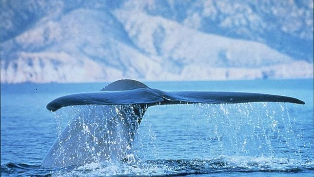 Cola de una ballena azul