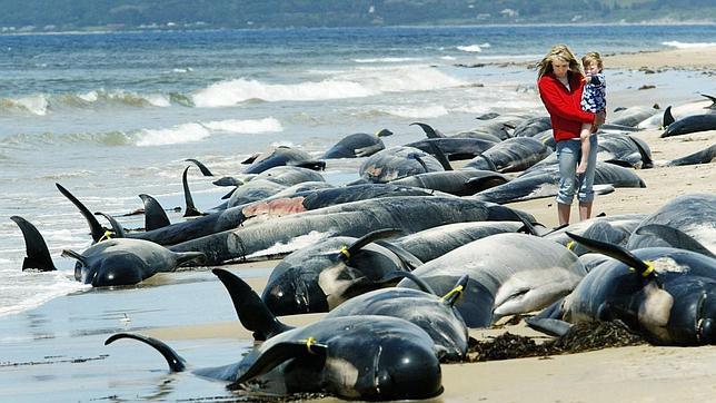 Ballenas varadas en Australia