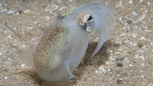 El calamar cola de botella