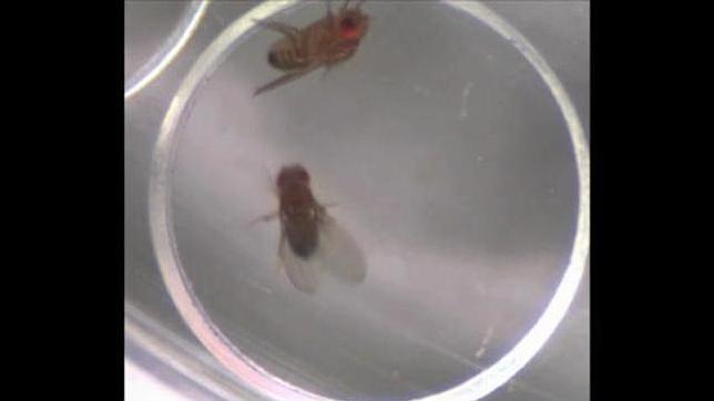 Experimento con las moscas