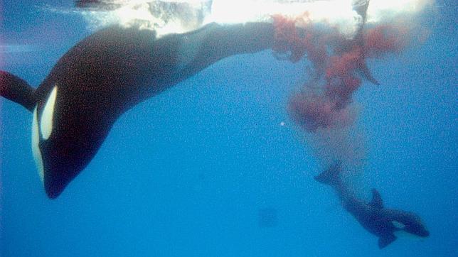 Orca da a luz en un acuario