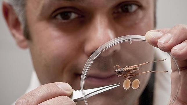 Un investigador muestra un ejemplar del saltamontes junto a sus testículos en una placa