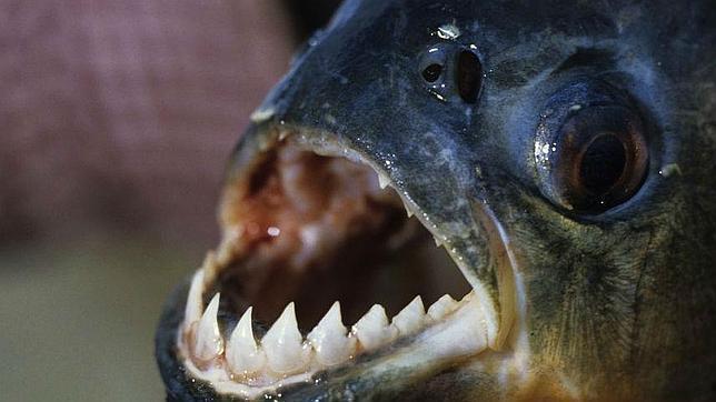 Hallan un pez «muerde-testículos» en el río Sena