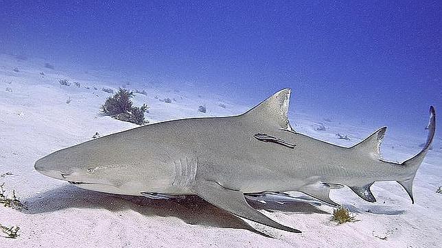 Tiburones, del mito al asombro: diez curiosidades