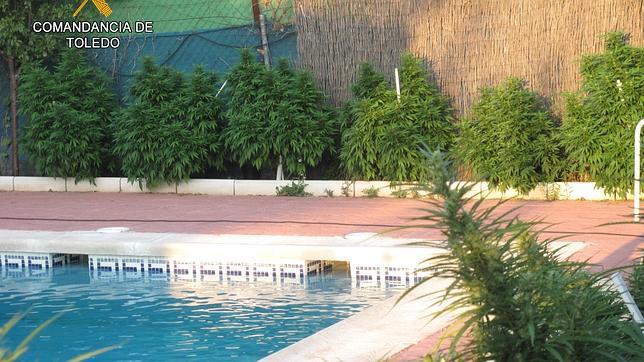 Cultivaba plantas de marihuana alrededor de la piscina de for Plantas para poner cerca de la piscina