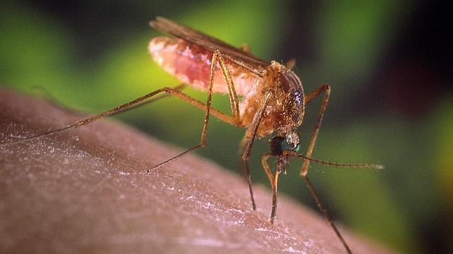 El repelente natural que te hace «invisible» a los mosquitos